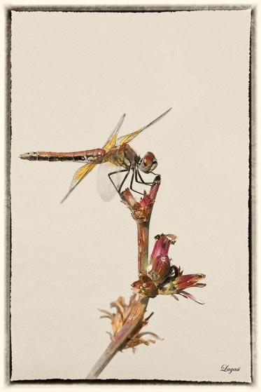 DragonflyPrintB