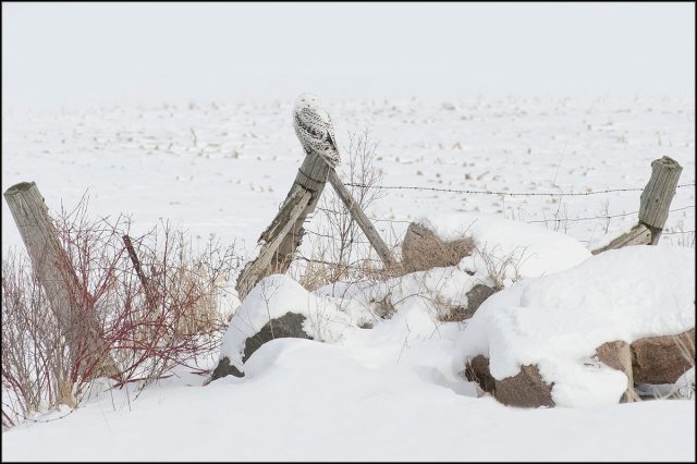 SnowyOwlBlog2