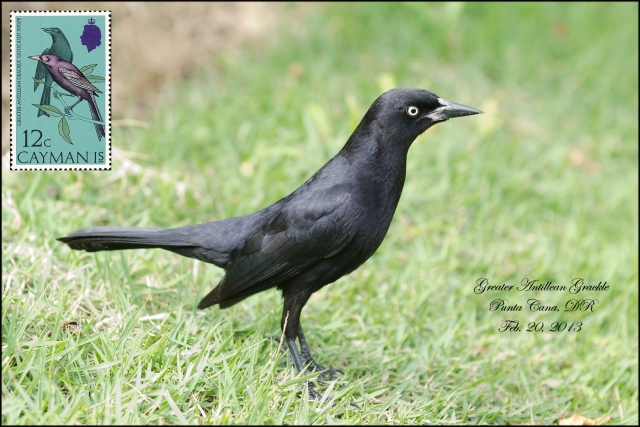 GreaterAntillianGrackle