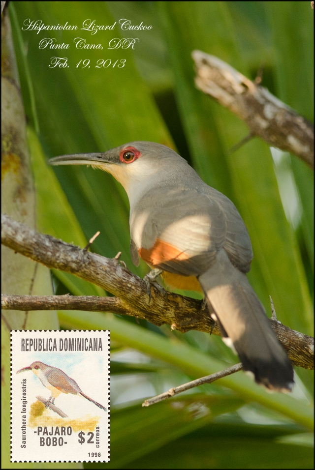 HispaniolinLizardCuckoo