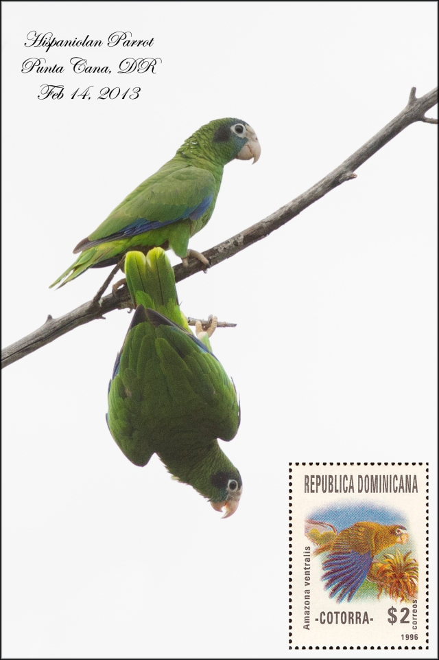 HispaniolinParrot