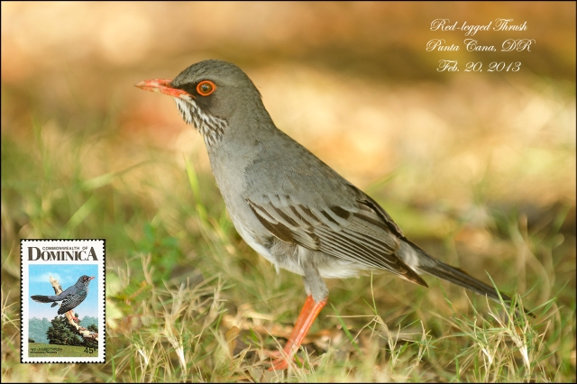 Red-leggedThrush