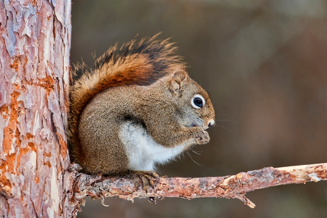 RedSquirrel