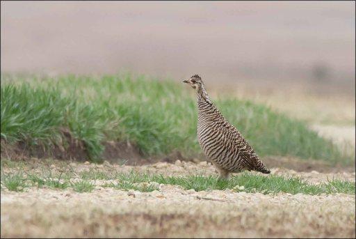 GreaterPrairieChicken(Female)