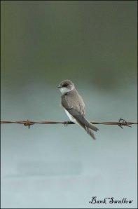 BankSwallow