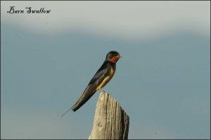BarnSwallow2