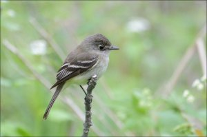 LeastFlycatcher