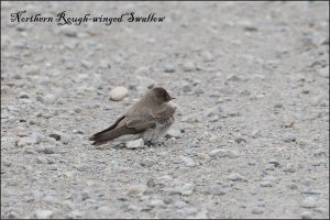 NorthernRWSwallow