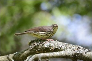 NorthernWaterthrush