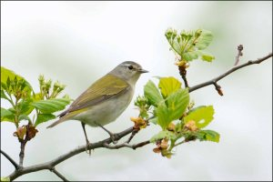 TennesseeWarbler2013