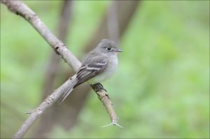 WillowFlycatcher