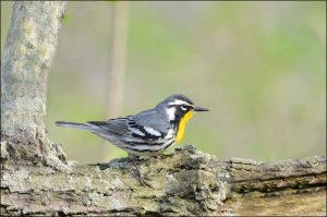 Yellow-throatedWarbler