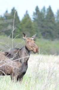 Moose-678x1024