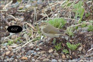 ArcticWarbler