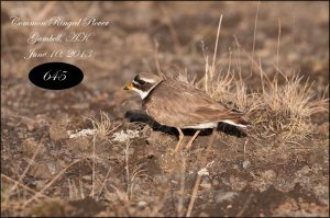 CommonRingedPlover