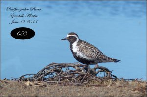 PacificGoldenPlover