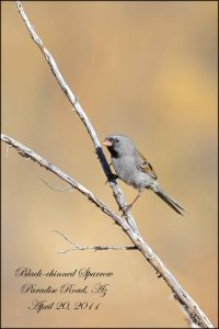BlackChinnedSparrow