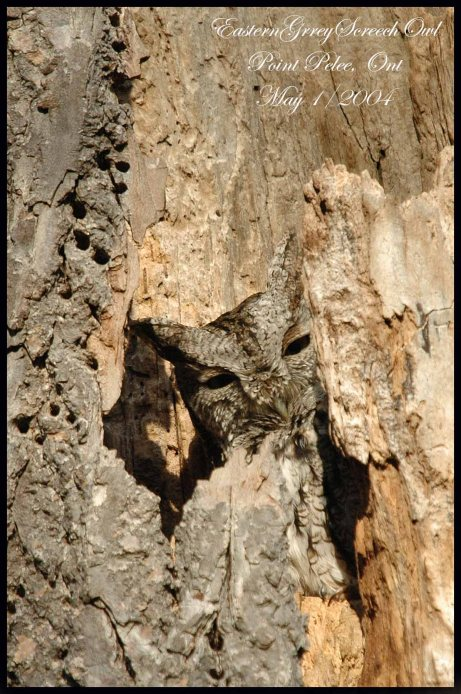 EasternGrayScreechOwl