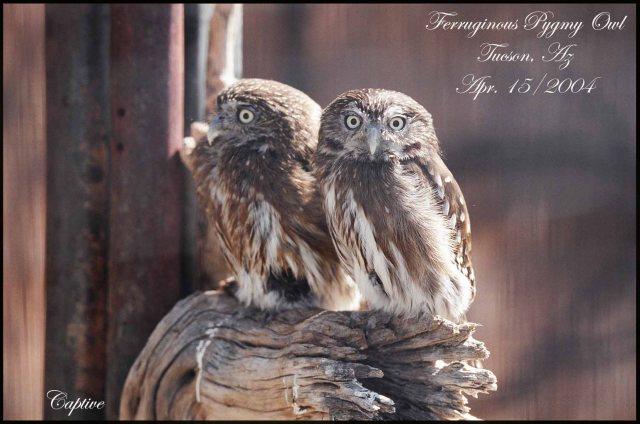 FerruginousPygmyOwl