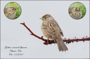 GoldenCrownedSparrow