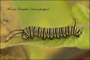 MonarchCaterpillar-1024x684