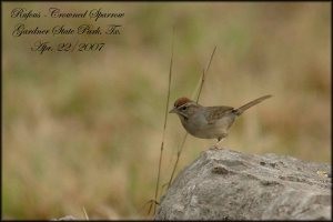 RufousCrownedSparrow