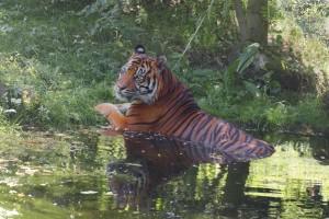 Tiger-1024x684