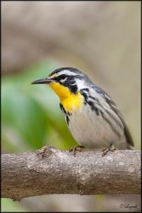 Yellow-ThroatedWarblerblog