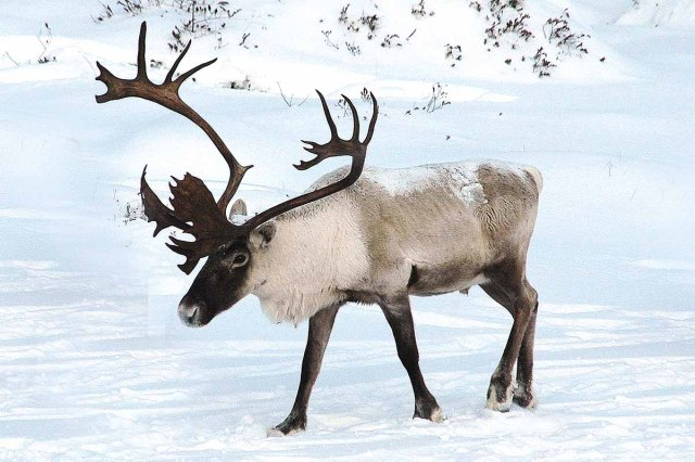 BarrenGroundCaribou