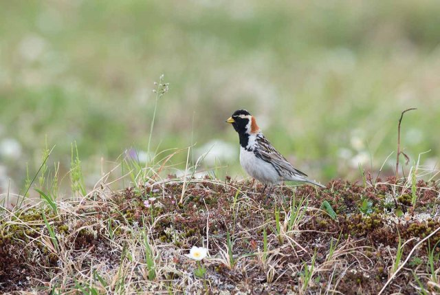 LaplandLongspur