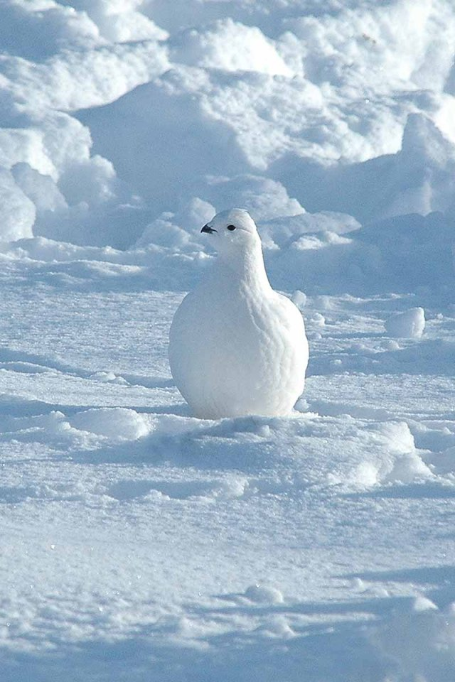 WillowPtarmigan