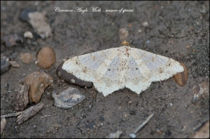 CommonAngleMothBlog