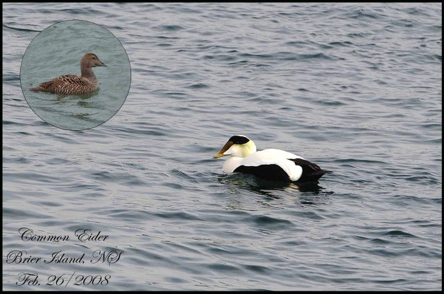 CommonEider