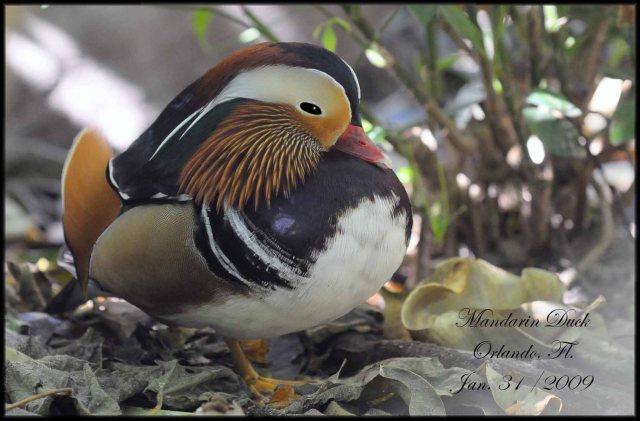 MandarinDuck
