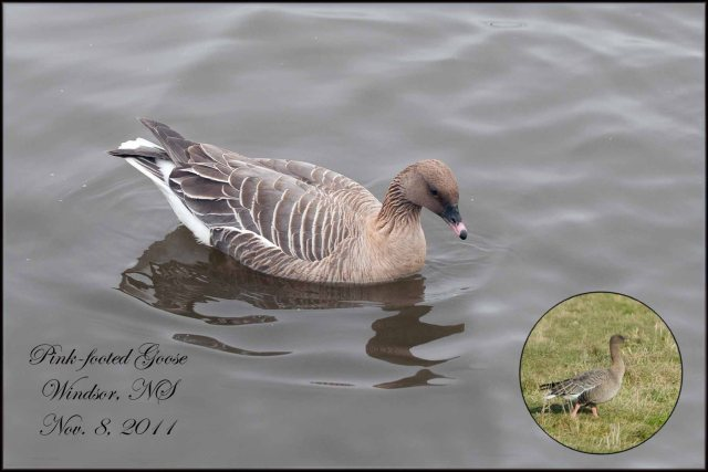 Pink-FootedGoose