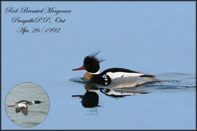 Red-BreastedMerganser