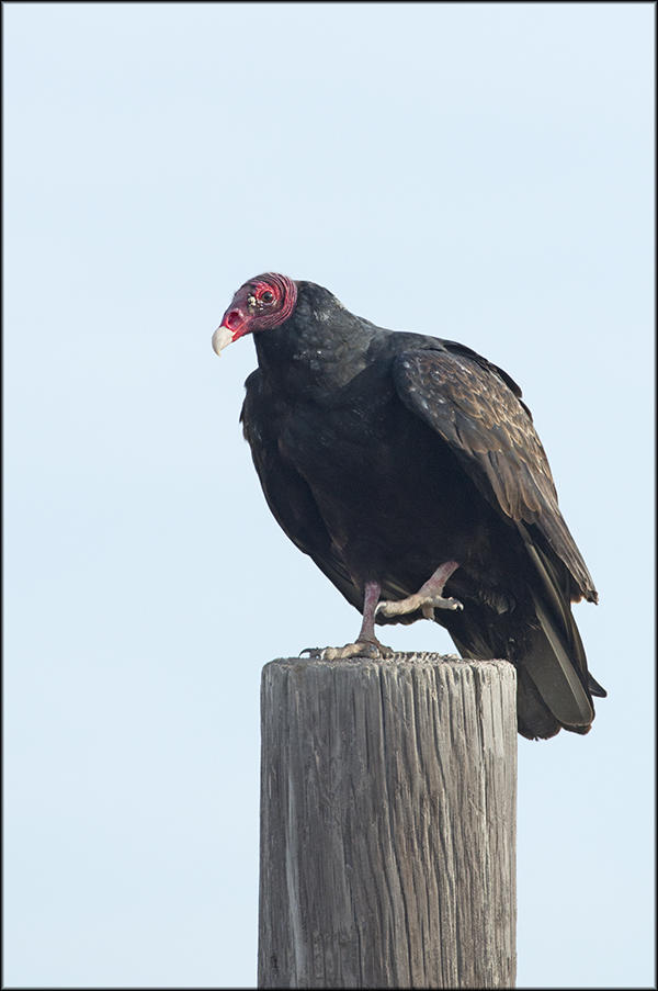 TurkeyVulture2013Blog