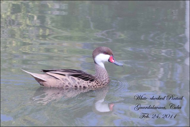 White-cheekedPintail