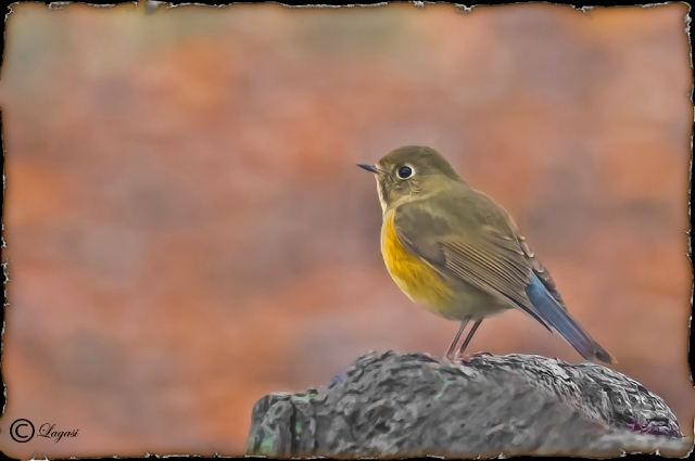 Red-flankedBluetail