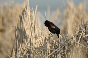 RWBlackbird (5)