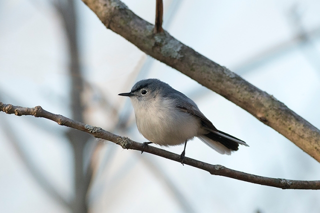 BGGnatcatcher1FB