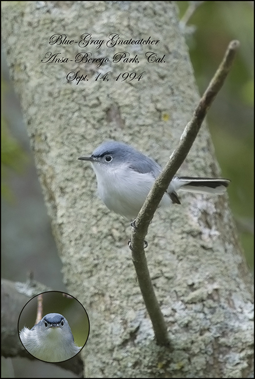 BlueGrayGnatcatcher