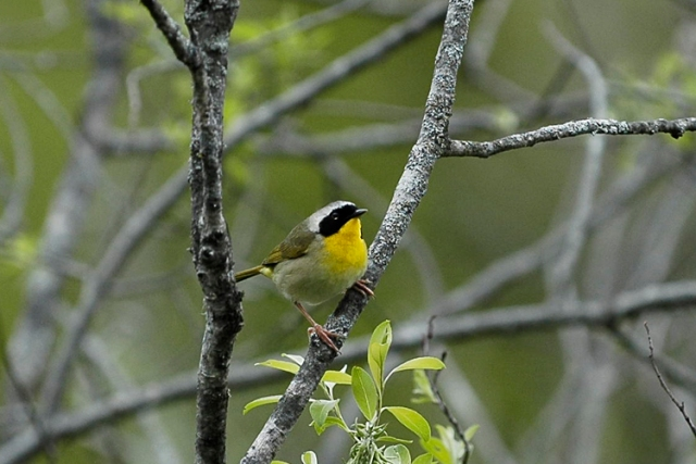 CommonYellowthroat1FB