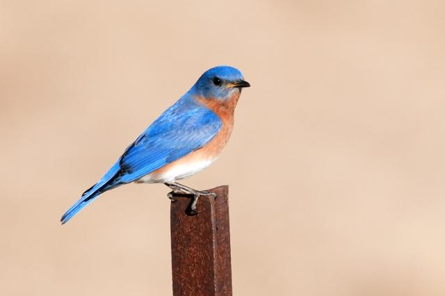 EasternBluebird1FB (7)
