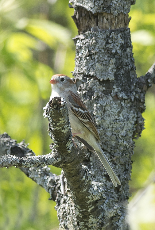 FieldSparrow1FB