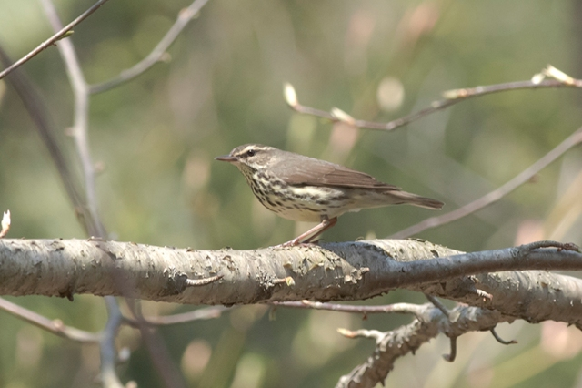 NWaterthrush1FB