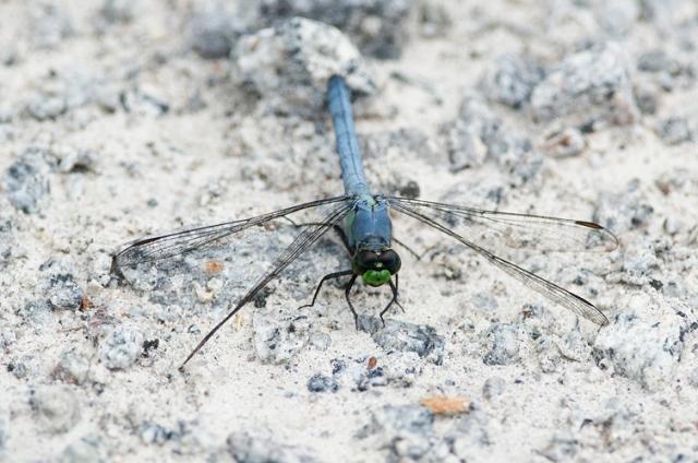 AligatorRiverDragonfly2FB