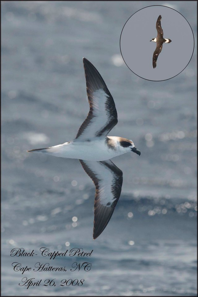 BlackCapped Petrel