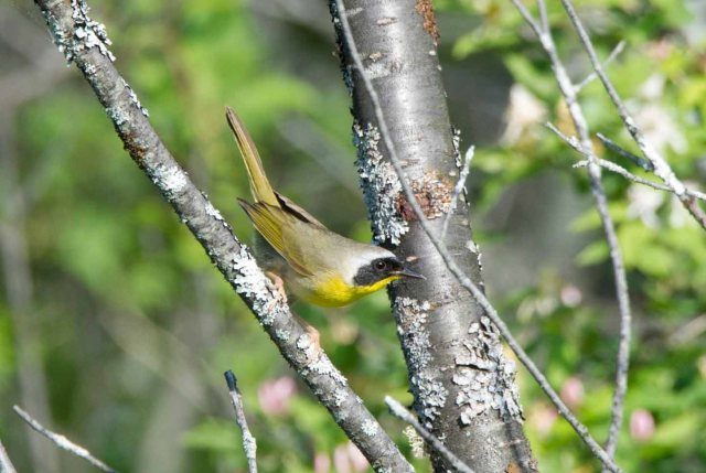 CommonYellowthroat4