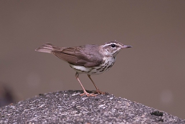 LouisianaWaterthrush1FB